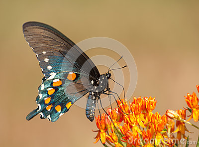 Ventral view of a Green Swallowtail butterfly