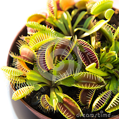 Free Venus Fly Trap Stock Photography - 66766892