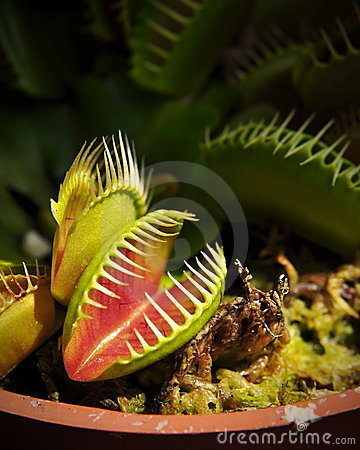 Free Venus Fly-trap Stock Image - 7965161