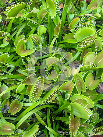 Free Venus Fly Trap Plants Royalty Free Stock Photos - 77937578