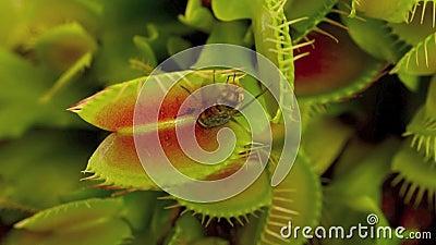 Venus flytrap. (Carnivorous plant), seconds before it eats a fly