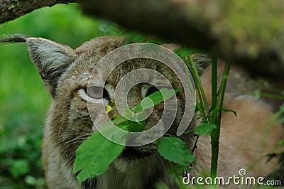 Verborgen Lynx