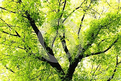Verdant banyan tree
