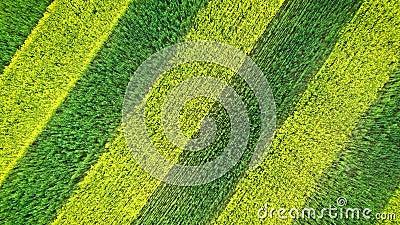 Verde del modelo de la cebra y líneas paralelas amarillas de floración de la colza en campo cultivado metrajes