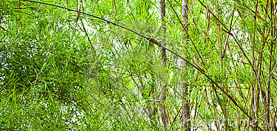 The verdure bamboo leaves,stems