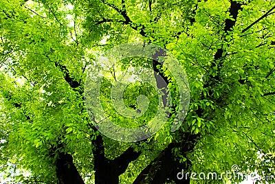 verdure banyan in spring
