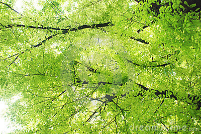 Verdure leaves on  Chinese banyan tree