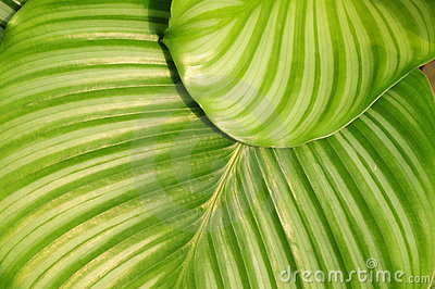 The verdure round leave of maranta