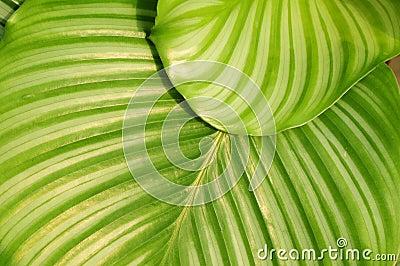 The verdure round leave of maranta