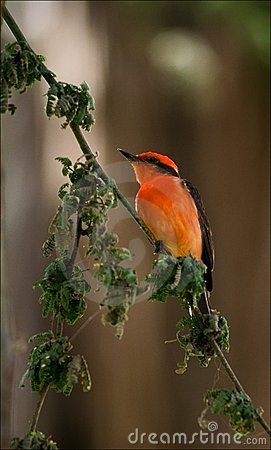 The Vermilion Flycatcher. 2