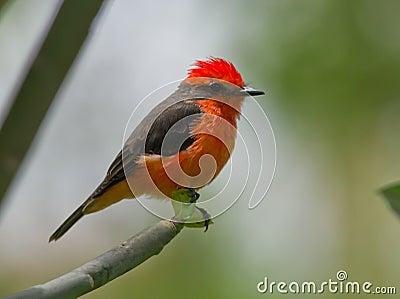 Vermilion Flycatcher (Pyrocephalus rubinos).