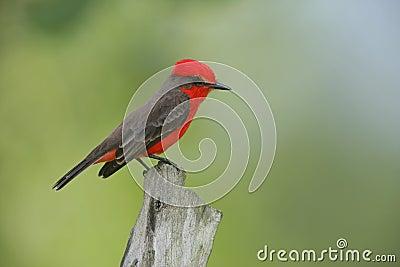 Vermilion flycatcher, Pyrocephalus rubinus