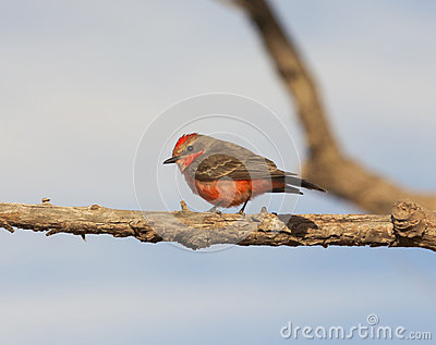 A Vermilion Flycatcher on a Tree Branch