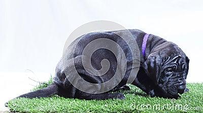 Vermoeid puppy