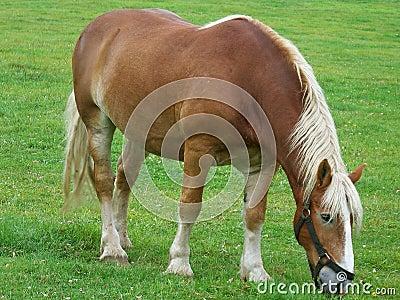 Vermont Belgian Draft Horse Stock Image - Image: 14687161