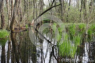 Vernal swamp