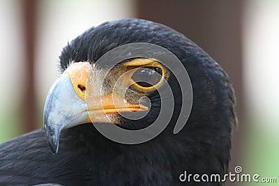 Verreaux s Eagle