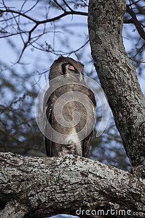 Verreaux s Eagle Owl