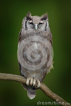 Free Verreaux S Eagle Owl. Rare African Owl In The Nature Habitat. Owl From Africa Sitting On The Branch. Royalty Free Stock Photos - 75944278