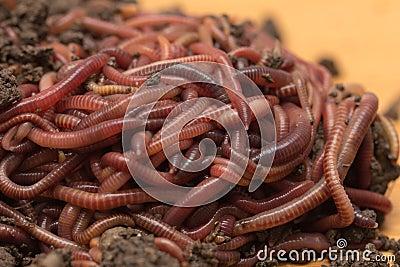 vers de terre rouges en compost photo stock image 64429179. Black Bedroom Furniture Sets. Home Design Ideas