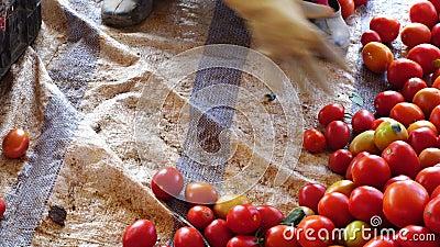 Verse die tomaten van tuin, Don Duong-district, de stad van DA Lat, Lam Dong-provincie, Vietnam worden geoogst stock footage