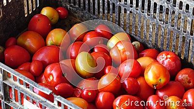 Verse die tomaten van tuin, Don Duong-district, de stad van DA Lat, Lam Dong-provincie, Vietnam worden geoogst stock videobeelden