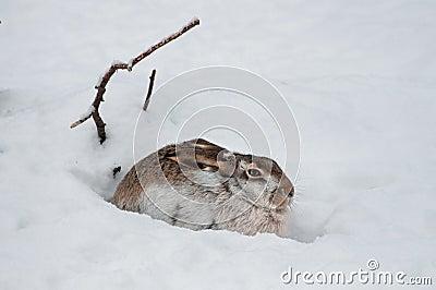 Versteckende Hasen