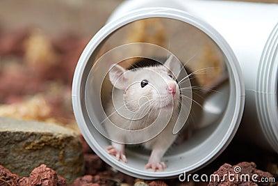 Versteckende Ratte