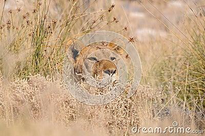 Versteckender Löwe