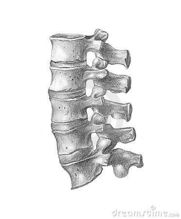 vertebral column, man s anatomy