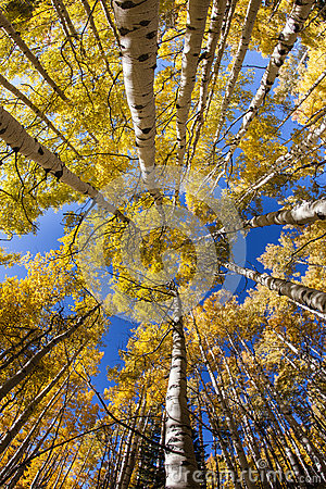 Free Vertical Aspen Trees Stock Photography - 49484422
