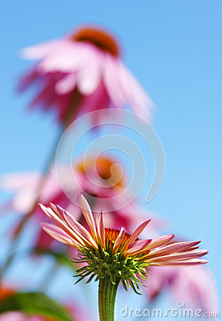 Vertical coneflowers and sky