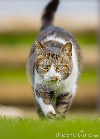 Free Vertical Front Cat On The Prowl Royalty Free Stock Photos - 78921048