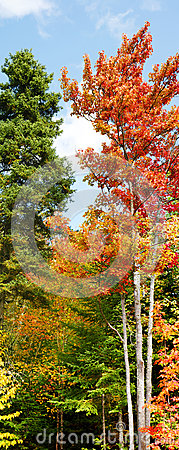 Free Vertical Panorama Of Fall Forest Royalty Free Stock Photo - 26856825