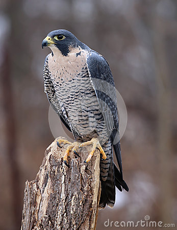 Free Vertical Peregrine Falcon Stock Images - 91125674