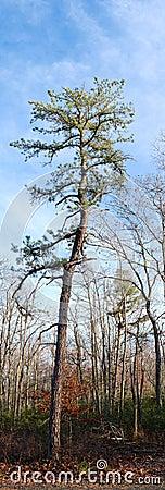 Free Vertical Pine Panorama Royalty Free Stock Image - 48479856