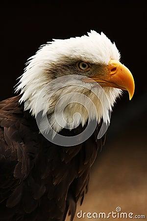 Vertical shot of Bald Eagle