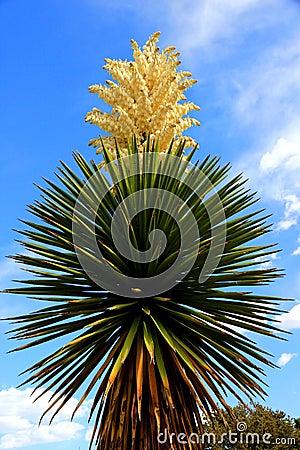 Vertical yucca