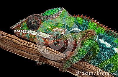 Verticale d un caméléon de panthère