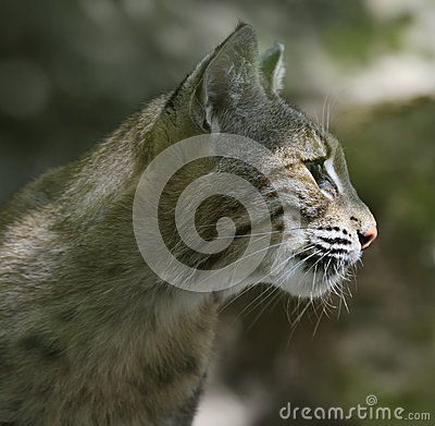Verticale de chat sauvage