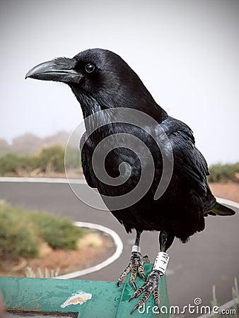 Verticale de corneille ou de corbeau