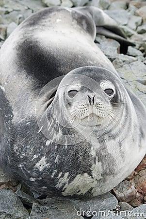 Verticale des sceaux de Weddell sur les roches de la marée au printemps