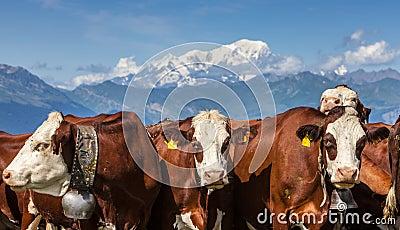 Verticale des vaches