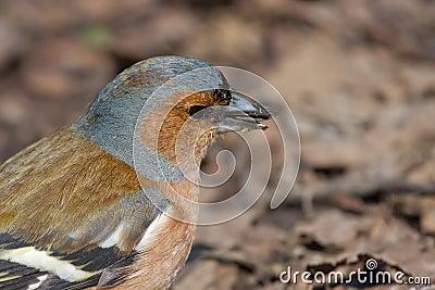 Verticale du Chaffinch mâle