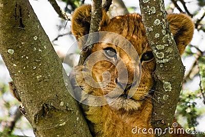 Verticale mignonne de Cub de lion