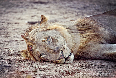 Verticale sauvage de lion