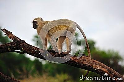 Vervet Monkey (Ceropithecus aethiops)