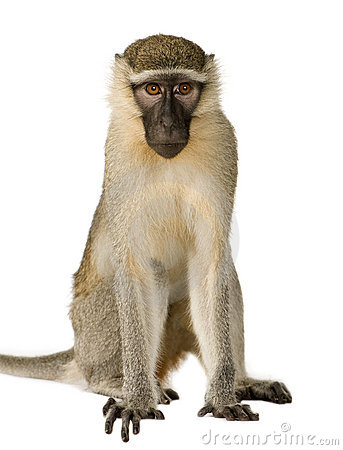 Vervet Monkey - Chlorocebus pygerythrus in front of a white background ...