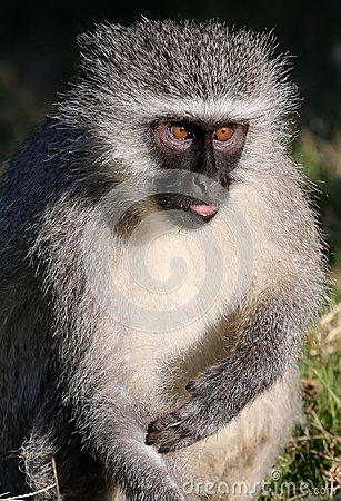 Vervet Monkey Concentrating