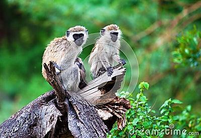 The vervet monkey, Lake Manyara, Tanzania, Africa.